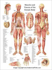 Muscles20FemaleHP1824
